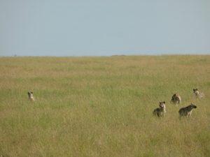 Hungry hyenas waiting to scavenge.