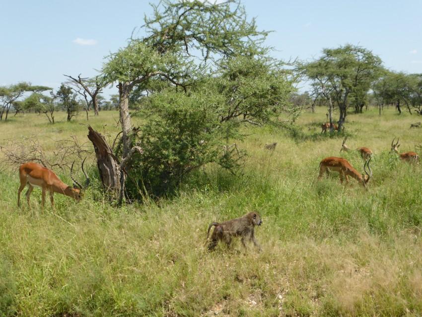 Impala and baboon pals.