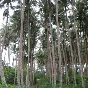 Amazingly tall palms.