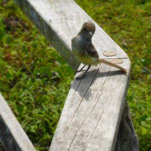 Finch.