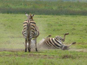 Bushnell's Zebras having a party.