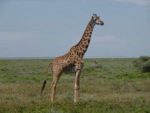 Masai Giraffe.