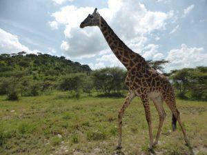 When a giraffe runs, it looks like it is moving in slow motion.