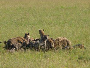 Hyenas having a buffalo feast.