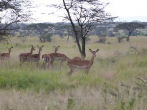 Grant's gazelle femes!