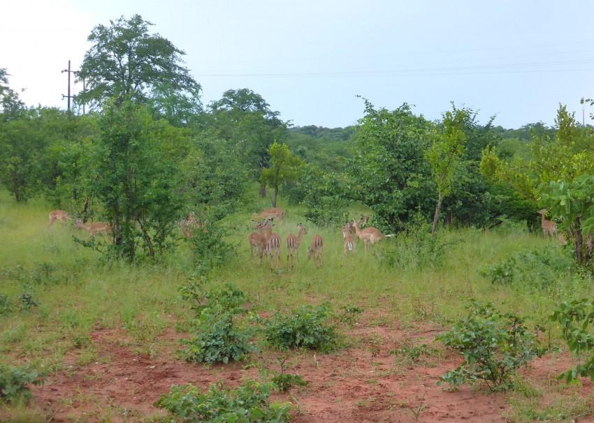 Southern impalas.