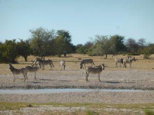 Zebras.