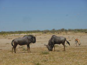 Wildebeest pals.