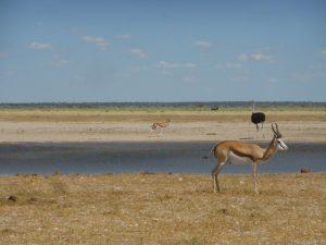 Ostrich and springbok.