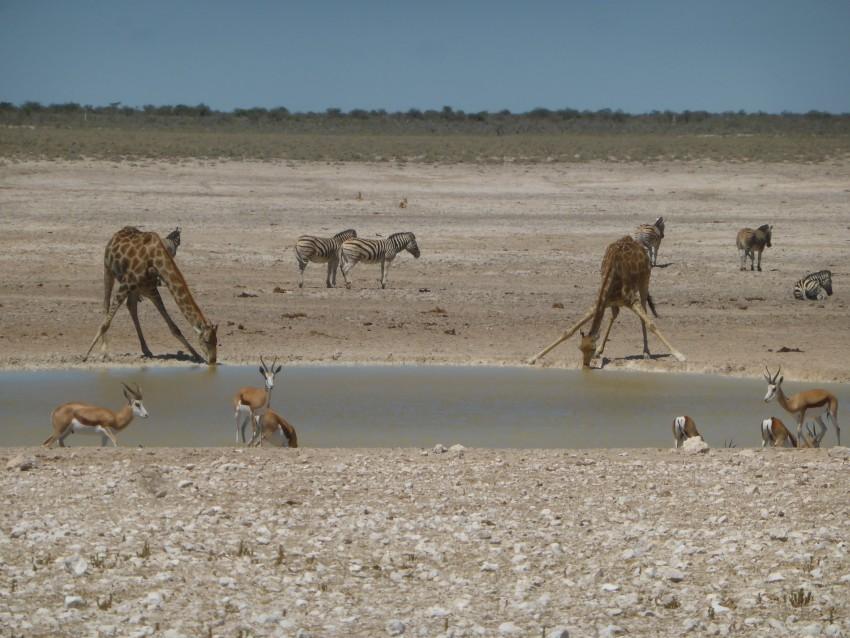 Kneeling giraffes, zebras, and springboks!