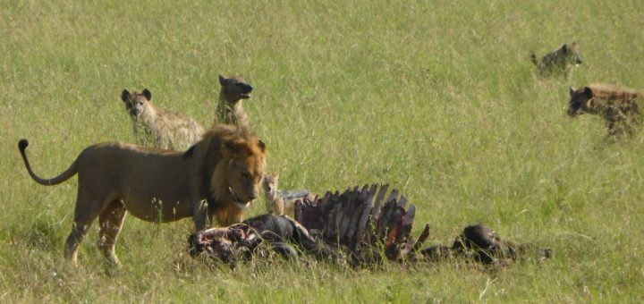 Serengeti Safari Lion Buffalo Feast - Day 2