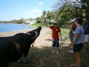 Feeding a water buffalo bananas.