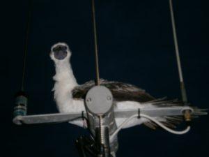 Albatross visitor.