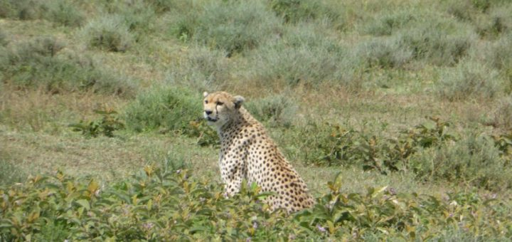 Ngorongoro Conservation Area and Serengeti National Park - Safari in Africa Day 1