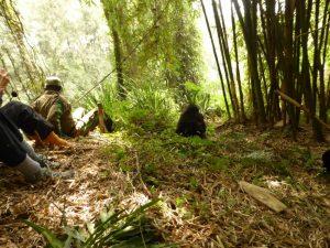 Meeting a wild silverback gorilla family