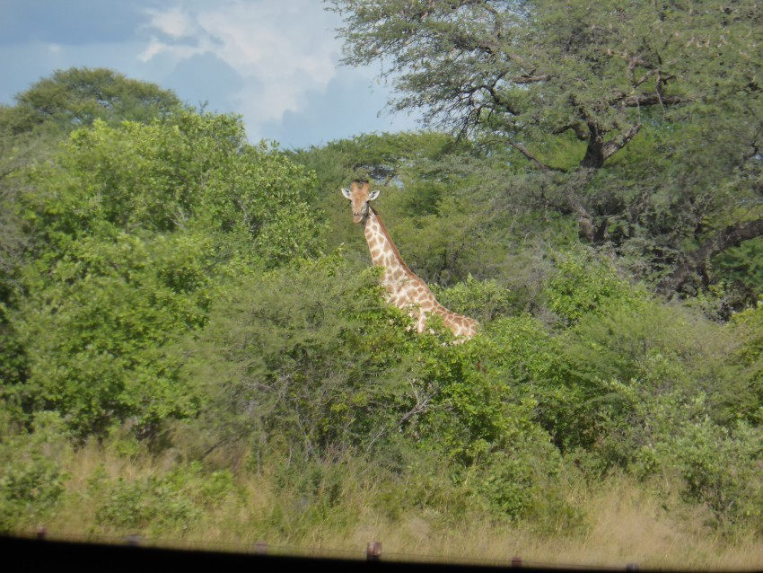 A casual giraffe on the side of the highway in Namibia.