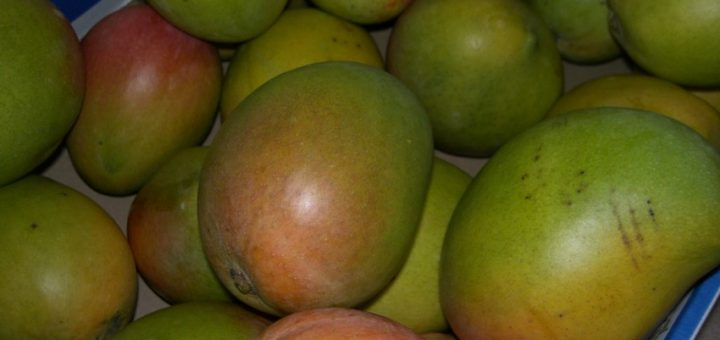 Thinking about Picking Mangoes in Australia?